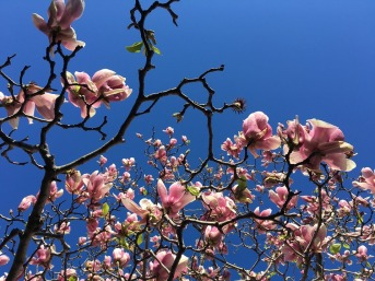 magnolia-1682002_960_720