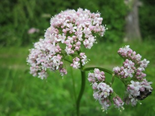 valeriana-officinalis-846615_960_720
